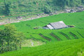 Rice Step Terrace In Vietnam Royalty Free Stock Photo - 26807155