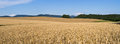 Field Of Golden Grain Royalty Free Stock Images - 26812499