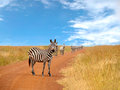 Herd Of Curious Zebras Looking And Standing Royalty Free Stock Image - 26823766