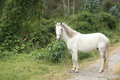 White Horse Standing On A Road Stock Photography - 26855302