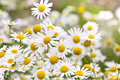 Chamomile Flowers Stock Images - 26857294