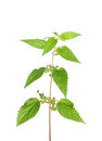 Stinging Nettle (Urtica Dioica) Royalty Free Stock Photos - 26862918