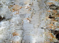 Birch Bark Royalty Free Stock Images - 26864979