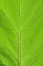 Leaf Veins Royalty Free Stock Image - 26865416