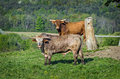 Two Cows Royalty Free Stock Images - 26897429
