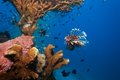 Lionfish And Sea Cucumber Under Coral Royalty Free Stock Photo - 26899665