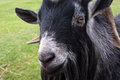 Billy Goat Stock Photography - 26914922