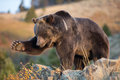North American Brown Bear (Grizzly Bear) Stock Photos - 26914923