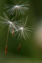The Seeds Of The Dandelion Stock Photos - 26915383