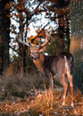 Whitetail Deer Stock Images - 26922574