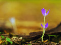 Beautiful Wild Crocus Flowers In A Mountain Forest Stock Image - 26923551