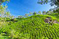 Tea Plantation Stock Image - 26930651
