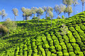 Tea Plantation Stock Photos - 26930663