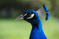 Peacock Head Royalty Free Stock Image - 26935496