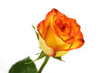 An Orange Red Rose Stock Images - 26958744