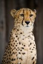 Cheetah Portrait Stock Images - 26969384