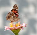 Vanessa Cardui Butterfly Royalty Free Stock Images - 26995139
