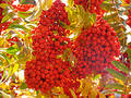 Ashberry Royalty Free Stock Image - 275996