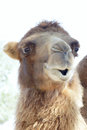 Camel Stock Photography - 27002922