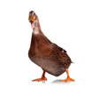 Domestic Duck Royalty Free Stock Photography - 27008477
