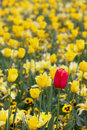 Red In Yellow Tulips - Odd One Out Royalty Free Stock Photos - 27009258