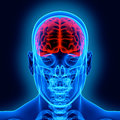 Human Brain And Scull Stock Photography - 27011432