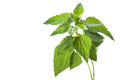 Nettle Royalty Free Stock Image - 27011736
