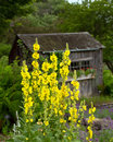 Showy Stand Of Mullein Stock Photos - 27023593