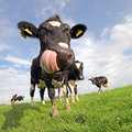 Funny Cow Stock Photo - 27027950