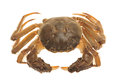 Hairy Crab From China Royalty Free Stock Photos - 27031778