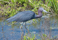 Little Blue Heron Royalty Free Stock Photography - 27038647