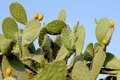 Prickly Pear Cactus Royalty Free Stock Images - 27042459