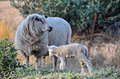 Merino Sheep Looking Out For Her Newborn Baby Lamb Royalty Free Stock Photos - 27048138