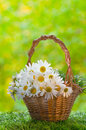 Basket With Daisies Royalty Free Stock Images - 27051579