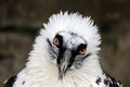 Bearded Vulture Royalty Free Stock Image - 27055706