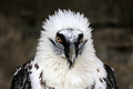 Bearded Vulture Royalty Free Stock Photography - 27055747