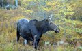 Cow Moose In Canada Stock Photography - 27060622