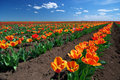 Meadow Of Tulips Royalty Free Stock Photos - 27063498