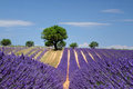 Lavender Field In Provence, France Royalty Free Stock Photo - 27065715