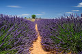 Lavender Field In Provence, France Stock Photos - 27065763