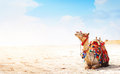 Camel Royalty Free Stock Image - 27074976