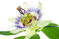 Passionflower On A Leaf Stock Image - 27078651