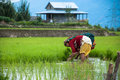 Paddy Field Stock Photo - 27080410