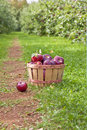 Apple Orchard Stock Images - 27087344