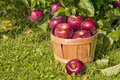 Apple Orchard Royalty Free Stock Photography - 27087347