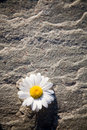 Daisy Stock Images - 2716244