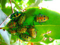 Crowd Of Beetles On A Leaf Royalty Free Stock Image - 2716306