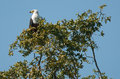 African Fish Eagle Stock Photos - 27122183