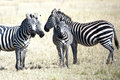 Zebras In The Serengeti, Tanzania Royalty Free Stock Photography - 27124737