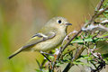 Ruby-crowned Kinglet Stock Photography - 27128552